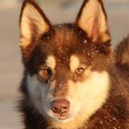 Finsk hyrdehund Russjkat R.I.P