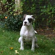 Amerikansk bulldog VBA´s Darling aka Maya