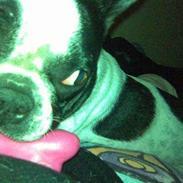 Boston terrier Zena
