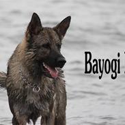 Schæferhund Bayogi Kila
