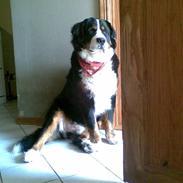 Berner sennenhund Basse H