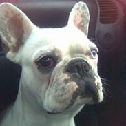 Fransk bulldog Bas Carlo **R.I.P.**