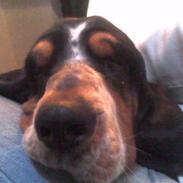 Basset hound Basse