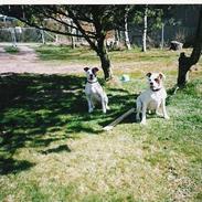 Amerikansk staffordshire terrier chica