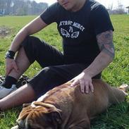Engelsk bulldog Tabasco