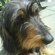 Gravhund Hannibal <3