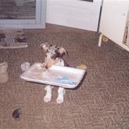 Collie korthåret Taiko Himmelhund