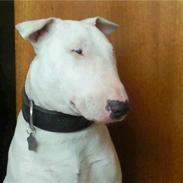 Bullterrier Hugo