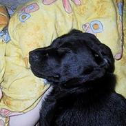 Labrador retriever Nordrehøj Black Magnus