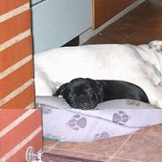 Fransk bulldog QUARK