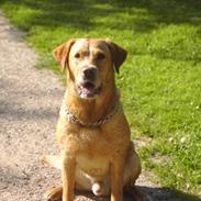 Labrador retriever Tiggie