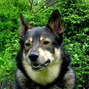 Finsk hyrdehund  *** Sakki ***