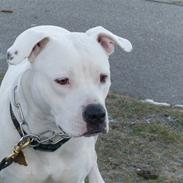 Amerikansk bulldog Sascha - R.I.P. 21 maj 10