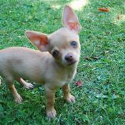 Chihuahua Dallas J.