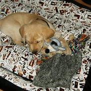 Labrador retriever Kenzo