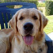 Golden retriever Bella