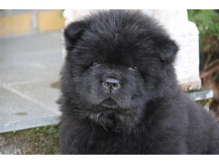 hvad koster en chow chow