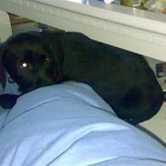 Labrador retriever freja R.I.P. mors pige
