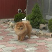 Pomeranian Riku
