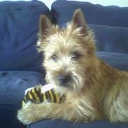 Cairn terrier Fidel