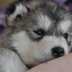 Alaskan malamute Tala (udstationeret)