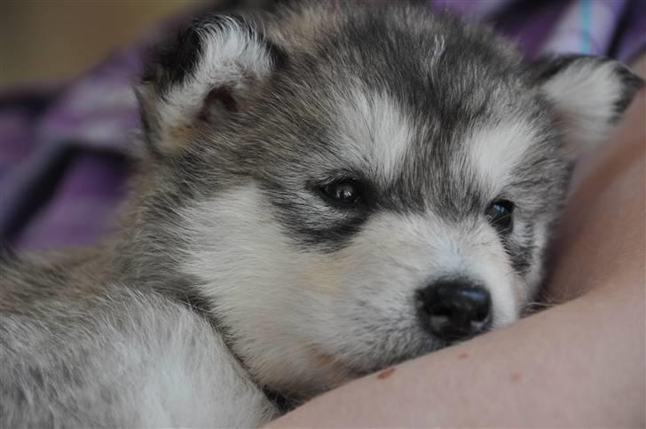 Alaskan malamute Tala (udstationeret) - 4 uger gammel på en venindes arm billede 2