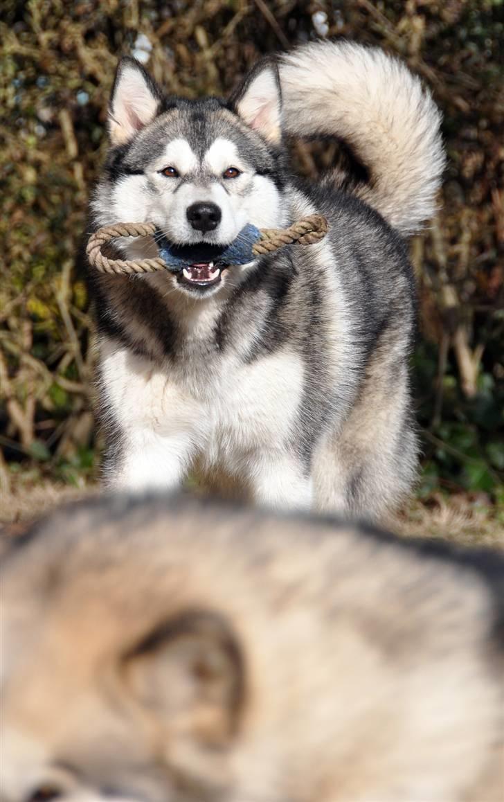 Alaskan malamute Tala (udstationeret) - 9  måneder står bag chunta med sit ynglingslegetøj i munden billede 5