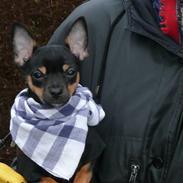 Chihuahua Buddy