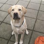 Labrador retriever Athos