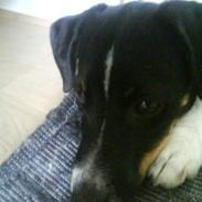 Dansk svensk gaardhund smutt