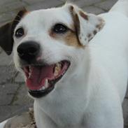 Jack russell terrier Manglekærvejen's Bella <3