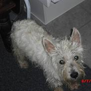 West highland white terrier max