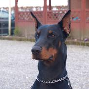 Dobermann Come as you are Cesano