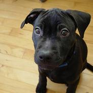 Amerikansk staffordshire terrier & Labrador bl. GINO