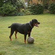 Rottweiler Clair (R.I.P 2010)