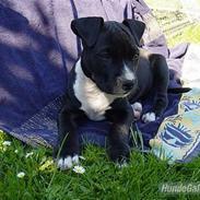 Amerikansk staffordshire terrier *Gucci*