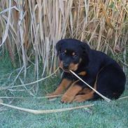 Rottweiler Tosca *Cue Beauty*