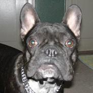 Fransk bulldog Bufas:)