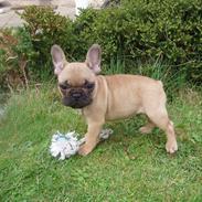Fransk bulldog Balder