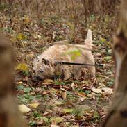 Cairn terrier Nala