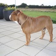 Engelsk bulldog Anton