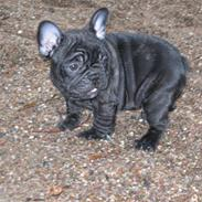 Fransk bulldog Carlos