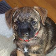 Border terrier Thilde