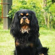 Cavalier king charles spaniel - Chilli - 3 år