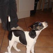 Jack russell terrier Lykkebo's Troy