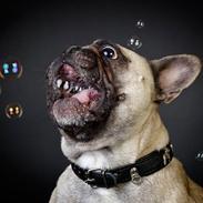 Fransk bulldog Pina