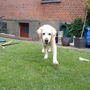 Labrador retriever Kairo R.I.P