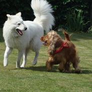 Samojedhund / labrador. Buddy