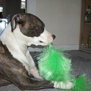 Amerikansk staffordshire terrier amiga 25-11-04