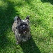 Cairn terrier mille